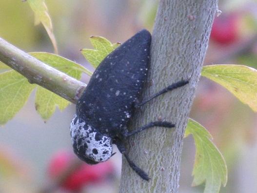 He visto lo que parecen escarabajos, muy quietos, sobre las ramas de un escaramujo.  Pilar