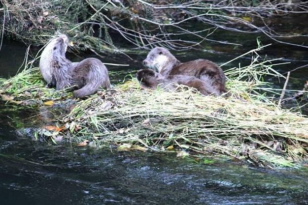 Se trata de una familia de nutrias jugando en el río Umia el pasado día 18, aguas abajo del balneario de Caldas de Reis.   Joaquín AUTOR DE LA FOTO: Jesús Pampin