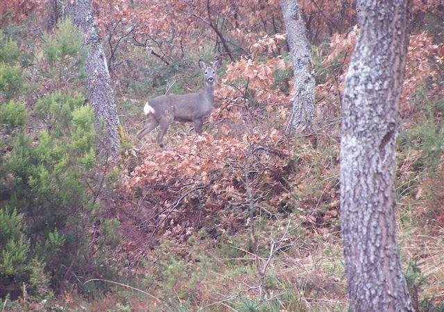Frente al gamo y el ciervo, la hembra suele tener dos crías, incluso tres en cada parto. Tres corcinos.  Mónica Fernández-Aceytuno  AUTOR DE LA FOTO: J. Antúnez
