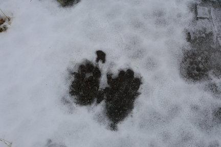 Estos días en el norte de Islandia mi intención principal es ver al zorro ártico que entre verdad y mentira cuentan que algunos granjeros tienen domesticado, aunque a mí me cuesta creerlo.  Carlos Bernier