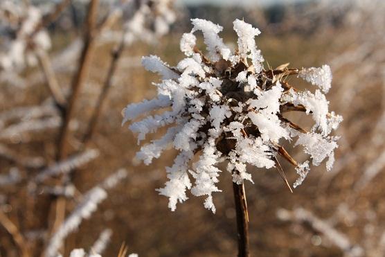 Plumas de hielo sacó la cencellada a los cardos.  Mónica Fernández-Aceytuno
