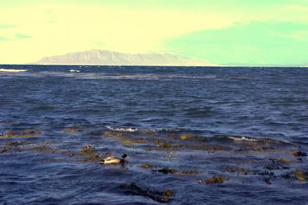 Posiblemente iba a pasar el día a los pies del Monte Esja donde existe una colonia de ellos.  Carlos
