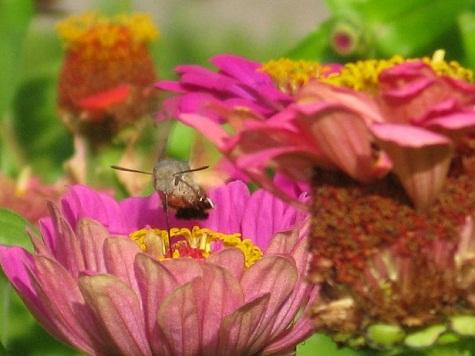 Así llamada por la forma de su vuelo que recuerda al del colibrí.  AUTORA DE LA FOTO: Pilar López  José Manuel Guerra Sanz