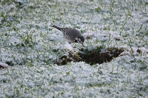 La huella del caballo en la nieve es una despensa abierta para las aves.  Mónica Fernández-Aceytuno