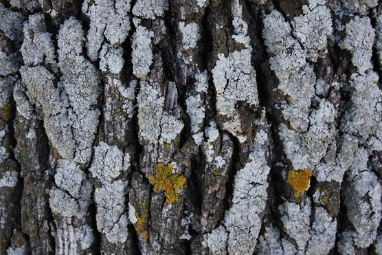 El gris luminoso, de ceniza seca, que tiene la parmelia sobre el tronco de la encina.  Mónica Fernández-Aceytuno
