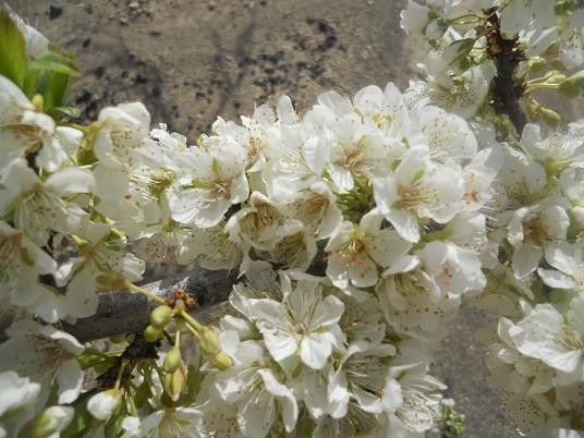 Este año la floración de los ciruelos está siendo extraordinaria.  Joaquín