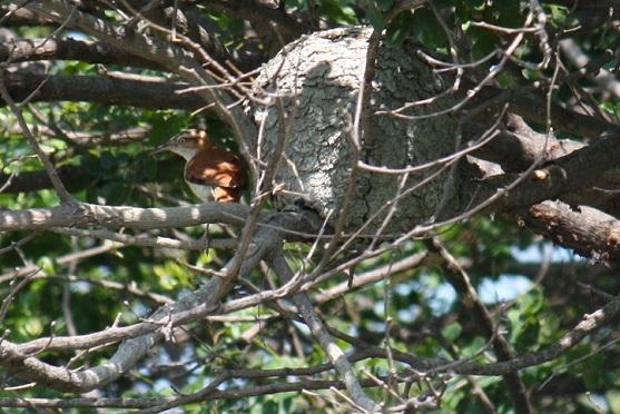 Me encanta volverme a encontrar con los pájaros como este hornero en la isla ecuatoriana de Santay, cuyo nido, como horno de pan, había observado en Uruguay hace unos años.  Mónica Fernández-Aceytuno