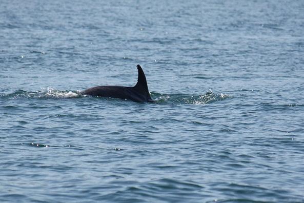 Ayer por la tarde vimos a este delfín mular claramente identificable por las muescas en la aleta dorsal.