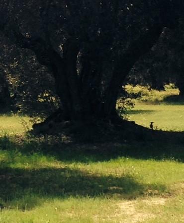 Entre olivares de la Quinta del Pardo apareció esta abubilla a la sombra de un viejo olivo.  asereT56