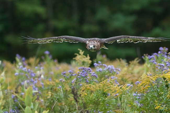 Es el halcón, como el azar, en este valle de lágrimas, el eje de la obra.  Mónica Fernández-Aceytuno FOTO: Red-tailed Hawk AUTOR:Raymond Barlow