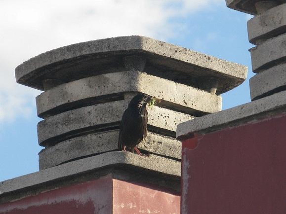 Dos parejas de estorninos negros hacen sus nidos en los respiraderos que hay encima del tejado de mi casa.  Pilar