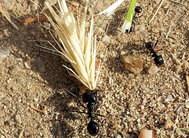 Las hormigas se aprovisionan para el invierno.  Tabardillo