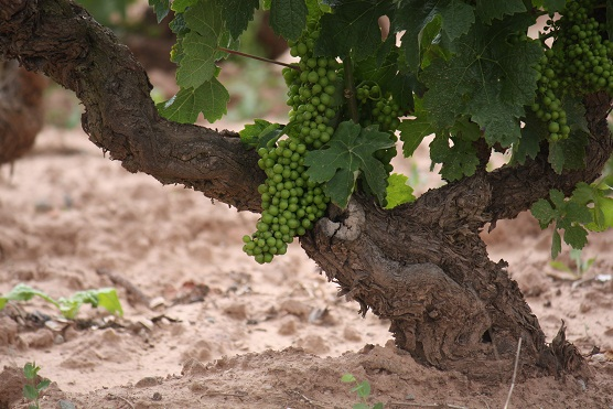 Esa tierra roja, seca bajo las nubes, y tanto verdor de pámpano y de uva.  Mónica Fernández-Aceytuno