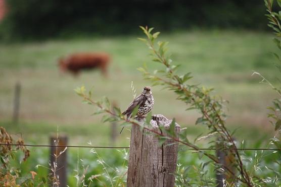 Por el moteado del pecho creo que es un zorzal charlo (Turdus viscivorus).