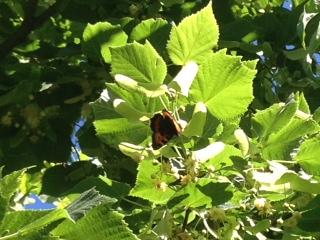 En plena floracion aparecieron varias mariposas en el tilo de la huerta.   aseret56