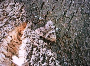 Polilla del alcornoque
