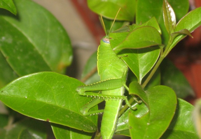 Subadulto de Anacridium aegyptium
