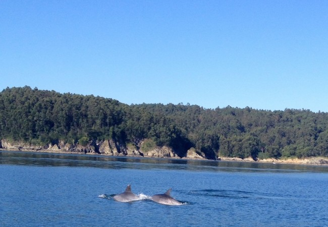 Delfines mulares en la ría