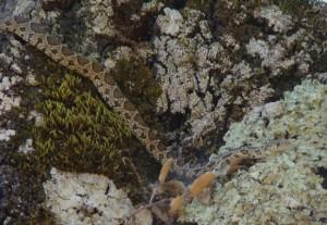 Alicante o Culebra de Herradura ( Hemorrhois hippocrepis) / Juan Carlos Delgado Expósito