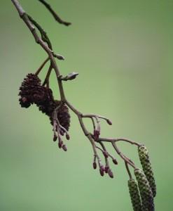 Aliso (Alnus glutinosa) / Aceytuno