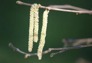 Amento del avellano (Corylus avellana) / Aceytuno
