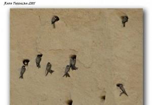 Segunda colonia de Avión Zapador (Riparia riparia-Bank Swallow) localizada en la provincia de Albacete en unos areneros de Fuensanta/ Rafa Torralba