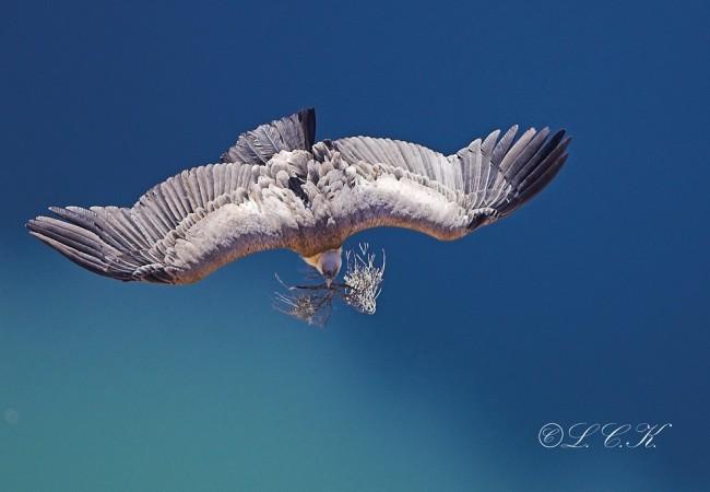 Buitre preparando su nido en invierno, por L.C.K.