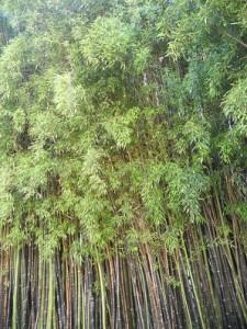 Bosque de bambú negro del Balneario Dávila de Caldas de Reyes / Joaquín