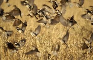 Bandada de machos y hembras de GORRIÓN MORUNO- Passer hispaniolensis)-Spanish Sparrow. AUTOR- Diego Romero Manzano.