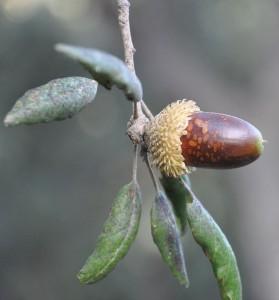 Foto: Bellota de alcornoque (Quercus suber) / Xemenendura