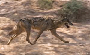 Palabra de hoy: otilar Lobo ibérico (Canis lupus signatus) / Ángel M. Sánchez                          @Angel_M_Sanchez