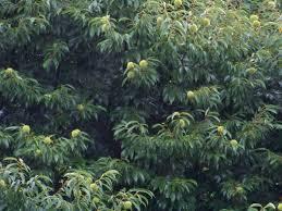 Castaño cadañego con los erizos aún verdes bajo la lluvia / Aceytuno