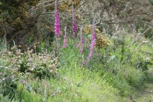 Dedaleras (Digitalis purpurea) en el camino / Aceytuno