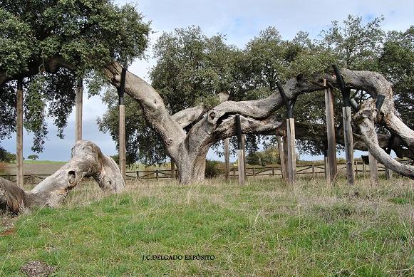 La encina  de unos diez metros de altura y unos quinientos años de vida, se encuentra en la zona