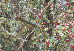 Majuelas del espino bajo la lluvia / Aceytuno