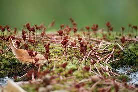 Setas con los esporófitos / Aceytuno