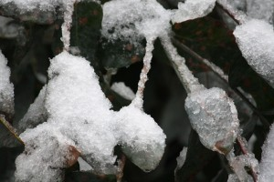 Eucalipto tras la nevada / Aceytuno