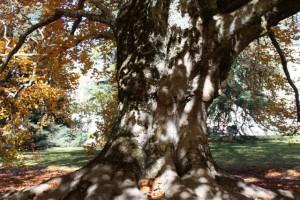 Tronco de haya (Fagus sylvatica) / La Granja (Segovia) 8-11-2015/ Aceytuno