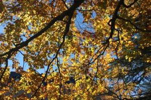 Cielo y hojas de haya el 8-11-2015/ Aceytuno