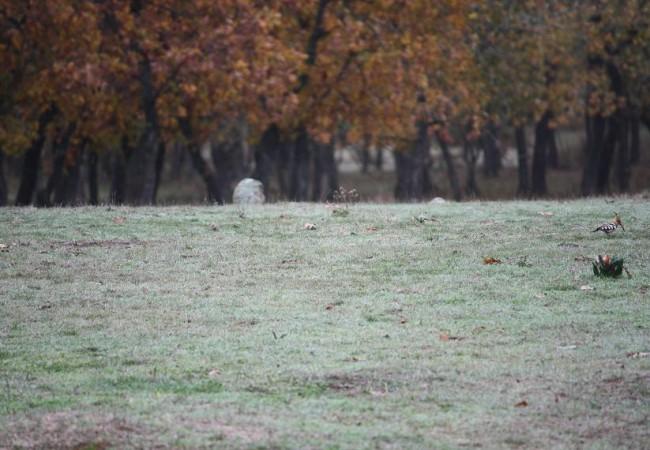 A la derecha de la fotografía, se aprecia, en el suelo, con la cabeza y el cuello pardo rosado, y las alas y la cola en blanco y negro, una abubilla (Upupa epops)el sábado. (Se ve a la abubilla pinchando la foto en LEER MÁS)