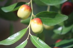 Azufaifas o frutos del azufaifo.