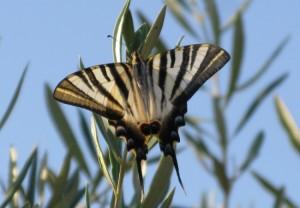 Mariposa podalirio o chupaleche (Iphiclides podalirius)/ Pilar López