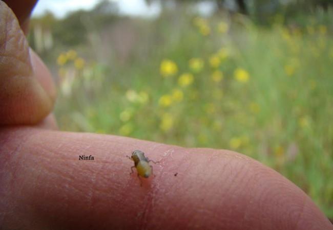 Sobre mi dedo pueden observar el insecto que alberga el salivazo. Una vez puesto sobre la planta, el insecto vuelve a producir de nuevo su protección.