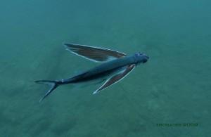 Pez volador (Cheilopogon heterurus) o juriola / Teo Lucas