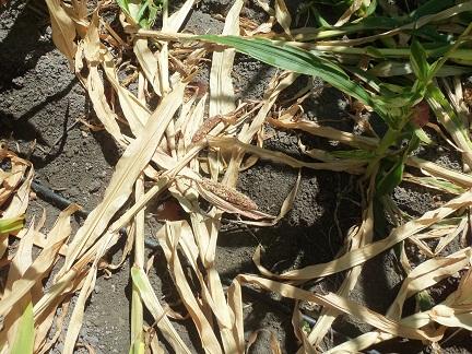 Todos los años hemos tenido jabalíes en los maíces pero nunca como este año en el que posiblemente haya más de un jabalí por hectárea.  Joaquín