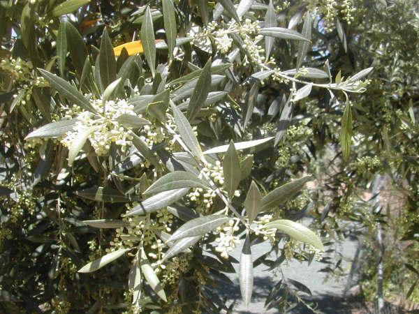 """11:17  """"Querida Mónica:   El 29 de abril del año pasado te envié una nota sobre la extraordinaria floración de los olivos. Este año la floración,"""