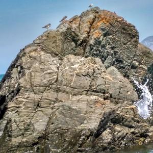 Vuelvepiedras refugiado en las rocas cercanas a la playa el 1-9-2016 / Aceytuno
