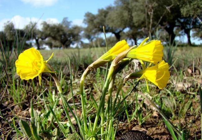 En un claro del encinar donde el sol ilumina y caldea la tierra, crecen algunos Narcisos amarillos, como los de la fotografía.