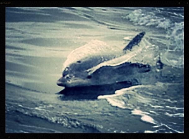 Sigue habiendo delfines en la ría y hoy nos encontramos, casi en la bocana del puerto, al menos una docena con sus crías.  Mónica Fernández-Aceytuno