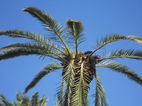 Ya tenemos el famoso picudo en Sevilla. Han transcurrido más de 15 años desde que se localizó en Almuñecar la primera palmera muerta víctima de este curculiónido.  Joaquín